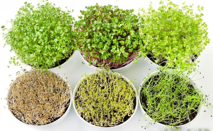 польза микрозелени